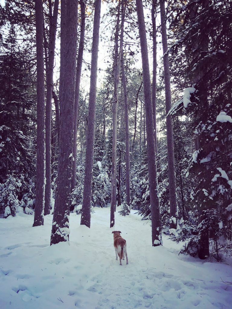 Author's dog, Lily, looking ahead among a cluster of snowy, towering red pine trees on a Winter's afternoon.